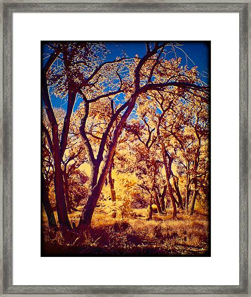 Cottonwoods Framed Print