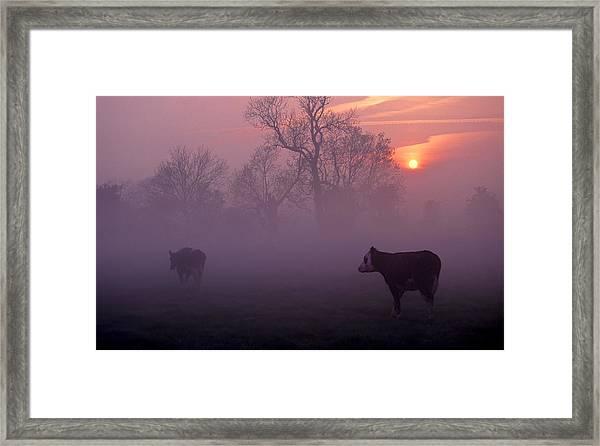 Cows At Sunrise Framed Print