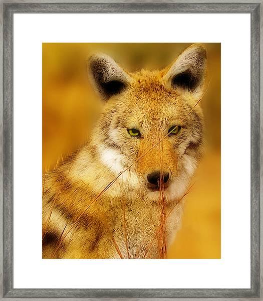 Coyote Pretty Framed Print