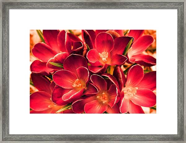 Crimson Crocus Framed Print