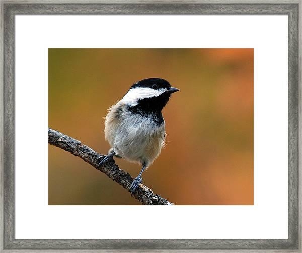 Curious Black-capped Chickadee Framed Print