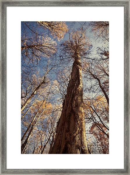 Cypress Trunk Framed Print