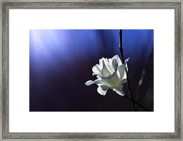 Daffodil Light Framed Print