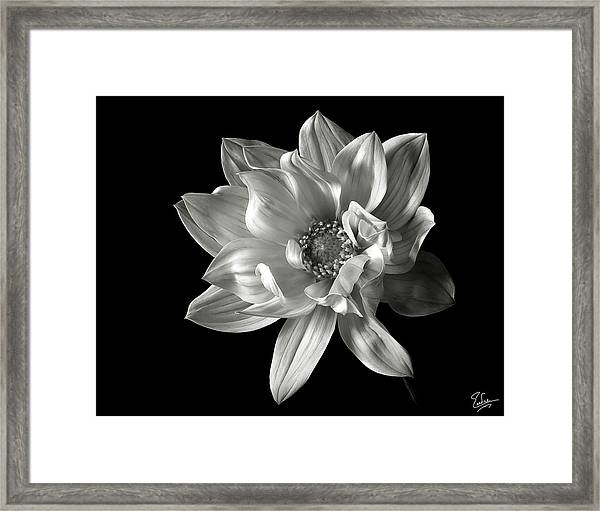 Dahlia In Black And White Framed Print