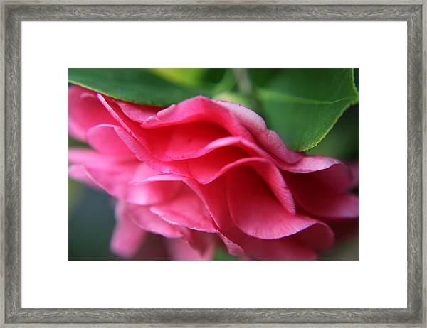 Dancing Petals Of The Camellia Framed Print