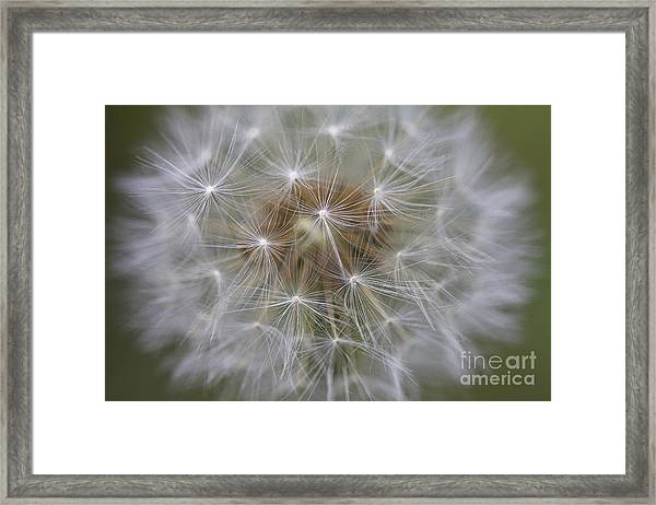 Dandelion Clock. Framed Print