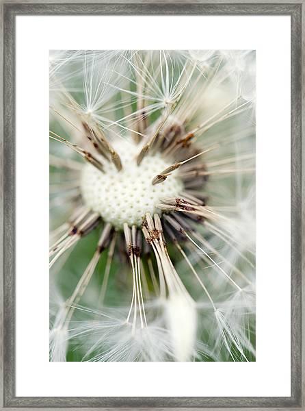 Dandelion Photography 4 Framed Print by Falko Follert