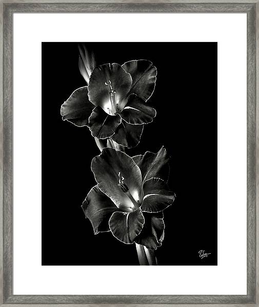 Dark Gladiolas In Black And White Framed Print