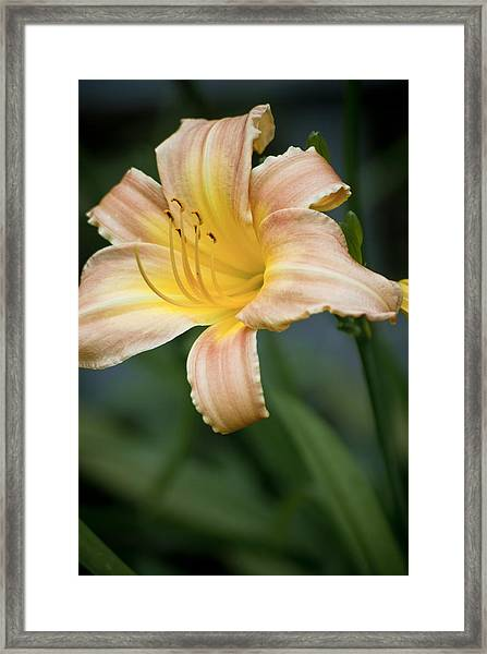 Day Lily In Bloom Framed Print