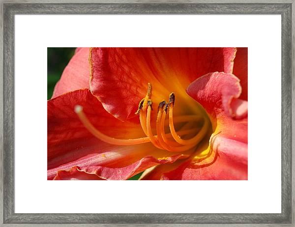Daylilly Close Up Framed Print