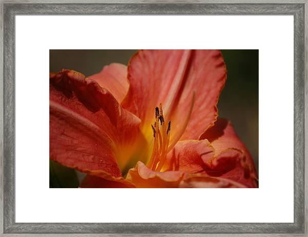 Daylilly Framed Print