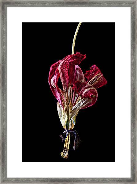 Dead Dried Tulip Framed Print