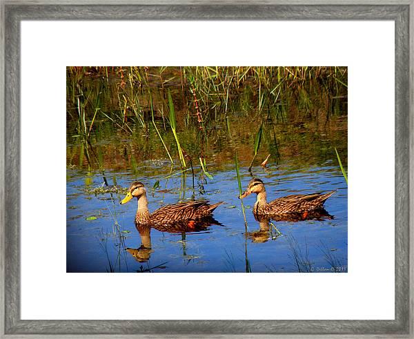 Ducks Afloat Framed Print