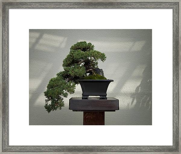 Dwarf Japanese Garden Juniper Framed Print