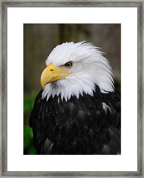 Eagle In Ketchikan Alaska 1371 Framed Print