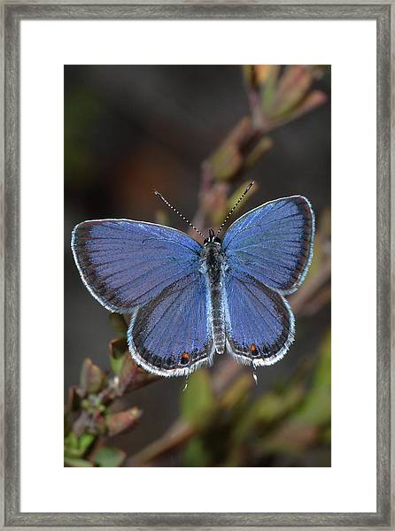 Eastern Tailed Blue Butterfly Framed Print