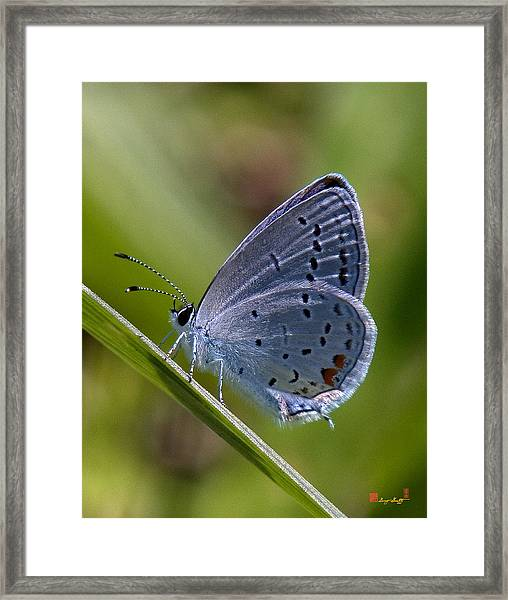 Eastern Tailed-blue Butterfly Din045 Framed Print