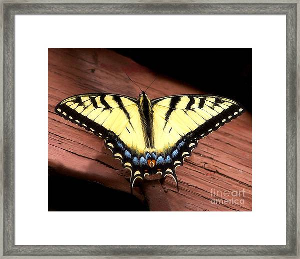Eastern Tiger Swallowtail Framed Print