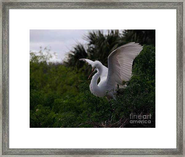 Egret Wings Framed Print