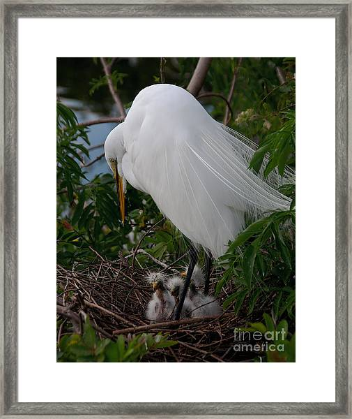 Egret With Chicks Framed Print
