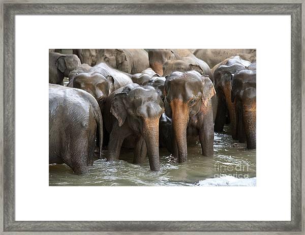 Elephant Herd In River Framed Print