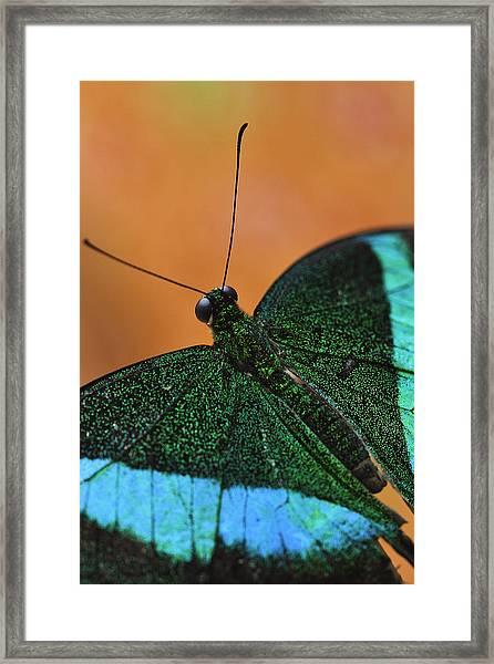 Emerald Swallowtail Framed Print