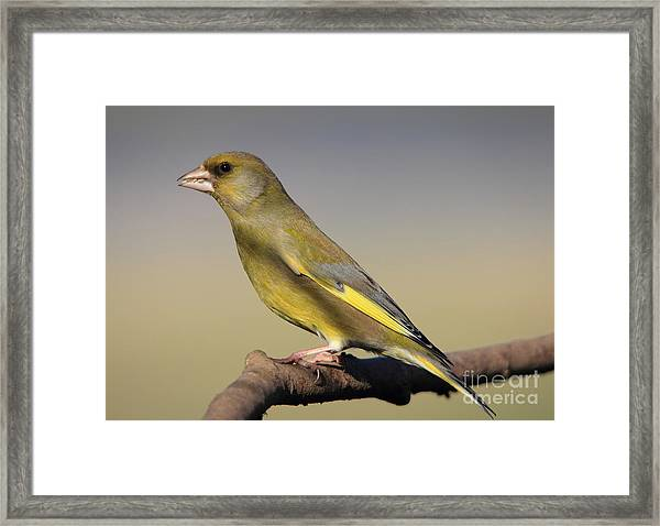 European Greenfinch Framed Print