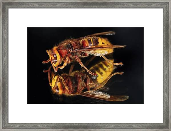 European Hornet On A Mirror Framed Print