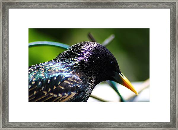 European Starling 2 Framed Print