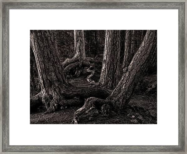 Evening Pines Framed Print