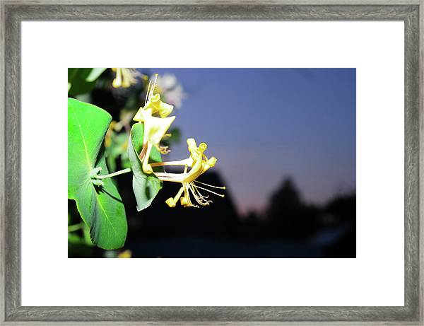 Evening Sonata. Perfoliata Framed Print