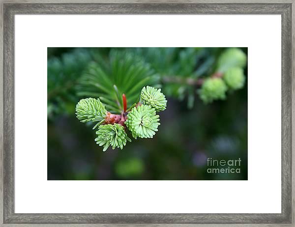 Evergreen Framed Print