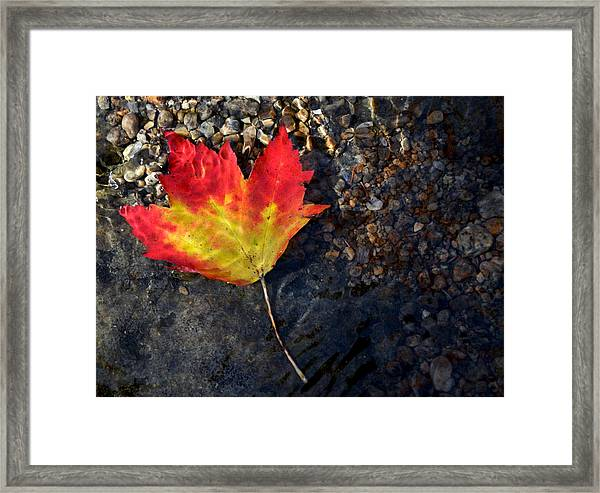 Fall Maple Leaf In Stream   Framed Print
