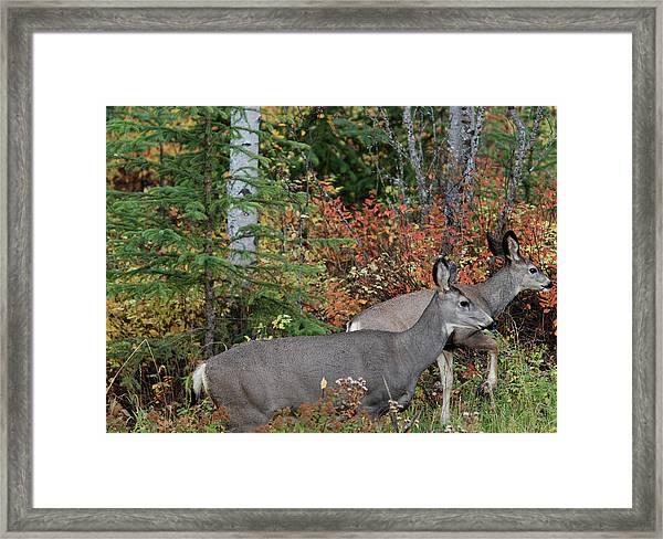 Fall Mule Deer Framed Print