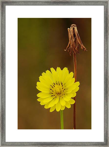 False Dandelion Flower With Wilted Fruit Framed Print