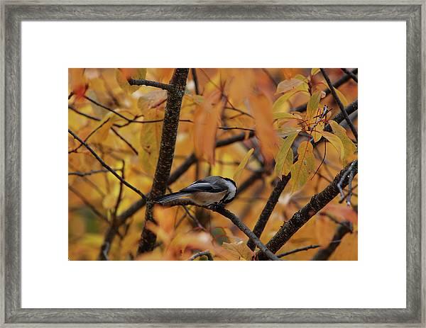 Feeding Chickadee Framed Print