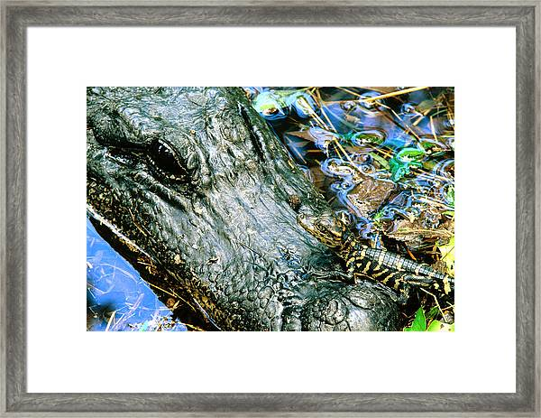 Female American Alligator And New Born Framed Print