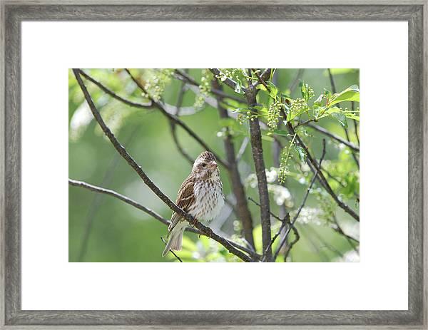 Female Purple Finch Framed Print