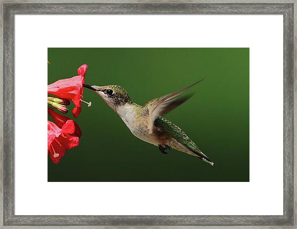 Female Ruby-throated Framed Print