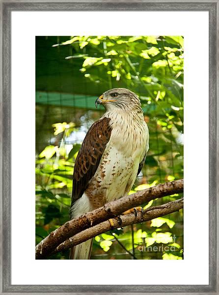Ferruginous Hawk Framed Print by Rachel Duchesne