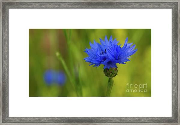 Field Flower - Blue-bottle Framed Print