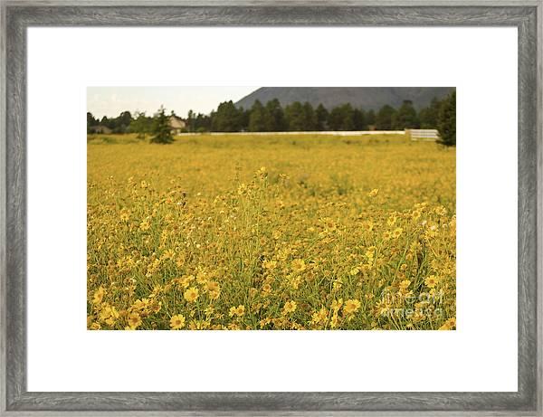 Field Of Yellow Daisy's Framed Print