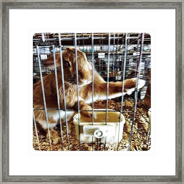 Flemish Giant Junior Buck Framed Print