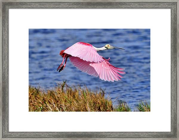 Flight A Roseate Spoonbill Framed Print
