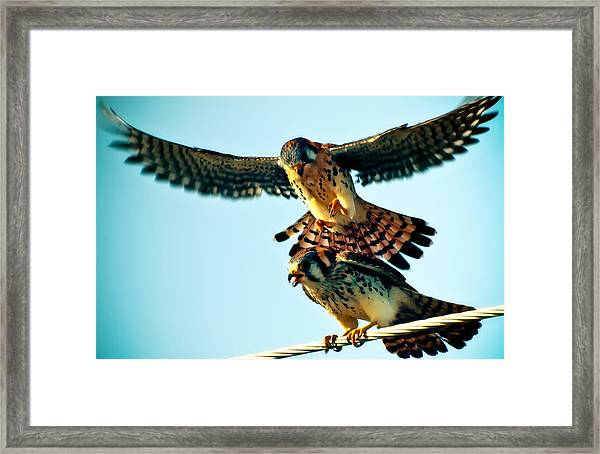 Flight Of The Hawk Framed Print