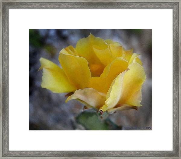 Flowering Prickly Pear Cactus In Florida Framed Print