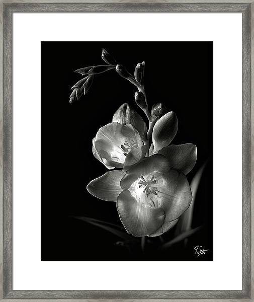 Freesia In Black And White Framed Print