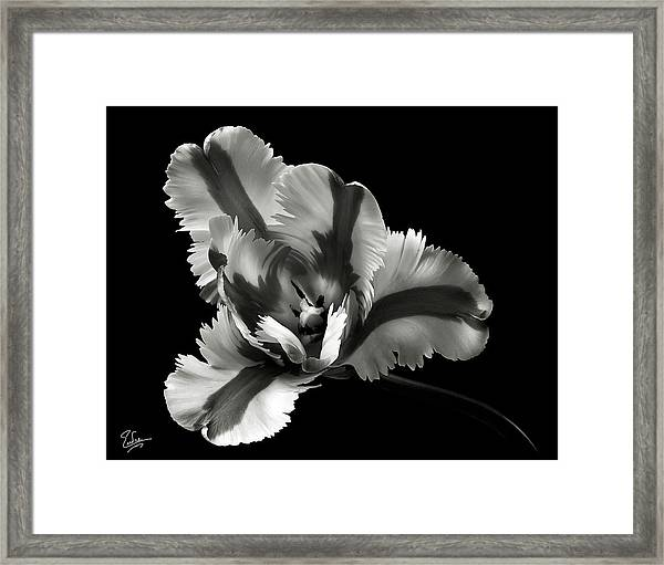 French Tulip In Black And White Framed Print