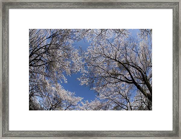 Full Bloomed Sakura Framed Print