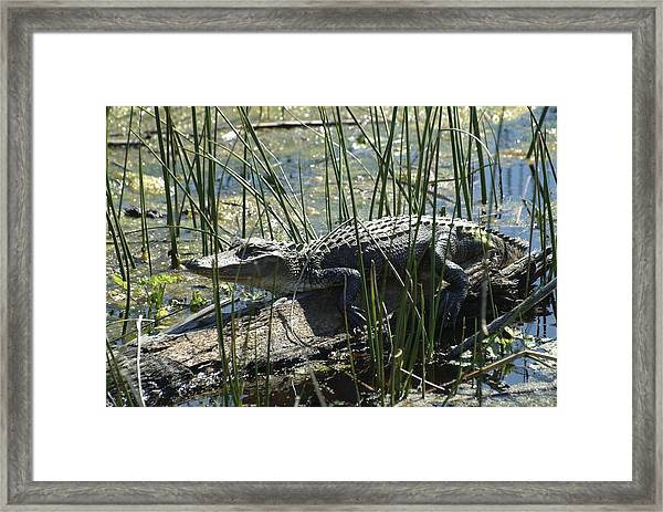 Framed Print featuring the photograph Gator by Ralph Jones